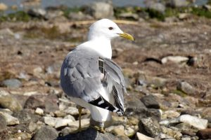 Common Gull with Lego (no elevation)